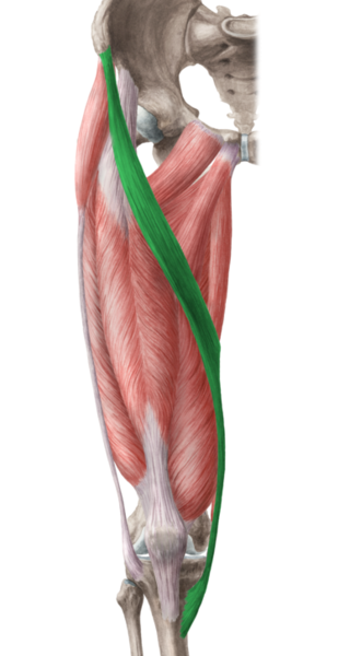 Satorius Muscle