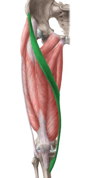 Satorius Muscle